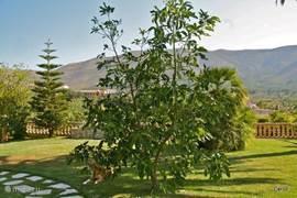 Een jaar of acht geleden at ik een lekkere avocado. Ik bewaarde de pit, stopte deze in een potje vochtige aarde en koesterde het plantje dat groeide Na 2 jaar zette de ik het uit de kluiten gewassen mini boom in de tuin2012, het boompje is een boom geworden, en heeft inmiddels veel  vruchten gegeven