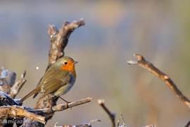Ik hoorde hem wel vaak in de tuin,maar wist bij God niet om welk vogeltje het ging. Vriend Edwin, hij is boswachter geweest, wel. Hij fotografeerde hem, deze tjif- tjaf. Mooi vogeltje  en met zijn hoge TJIFTJAF geluid,zal je zijn naam ook niet snel  vergeten.