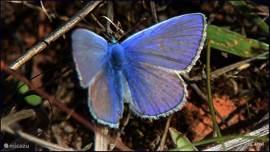 Met veel bloemen in de tuin trek je talloze vlinders aan.Soms lig ik op mijn buik te wachten bij de een of andere struik, dan komt er niets, en net als ik ben opgestaan...ja hoor