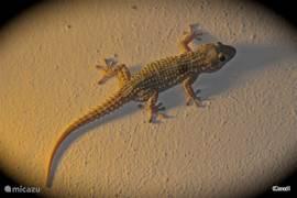 Deze kleine tjitjak,een soort van salamander, wacht op een smakelijk hapje in de vorm van een torretje, vliegje. Ze zijn koelbloedig, letterlijk en figuurlijk, en hebben zuignappen onder de pootjes.Tegen de avond als de buitenlampen aan zijn, gaan ze op jacht.