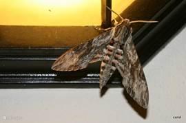 Een grote nachtvlinder op de ( eveneens grote) buitenlamp. Boven de lamp zit bovenstaande tjitjak te loeren op vliegend gespuis...maar deze hap gaat ver boven zijn kunnen...
