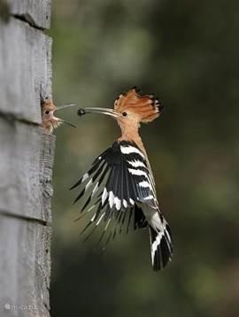 Dit is mijn lievelingsvogeltje...de HOP zo heet -ie en dat hij zegt ook... -hop-hop hop. Dit is, trouwens, een van de weinige foto's die ik niet zelf genomen heb. Als de honden binnen zijn lopen ze  met z´n tweeën door de tuin. Het zijn meer lopers dan vliegers. Maar als ze vliegen zijn ze prachti
