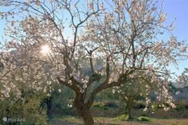 Het blijft verbazend  dat het er in januari zo uit ziet.Lente in Januari. Het is niet alleen de geur van de bloemen maar ook het gezoem van bijen waardoor je het gevoel van voorjaar beleefd.Ik zeg er wel bij, áls de zon schijnt, want dat is natuurlijk niet elke dag.Soms is het gewoon koud.