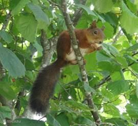 Eén van de vele eekhoorntjes.