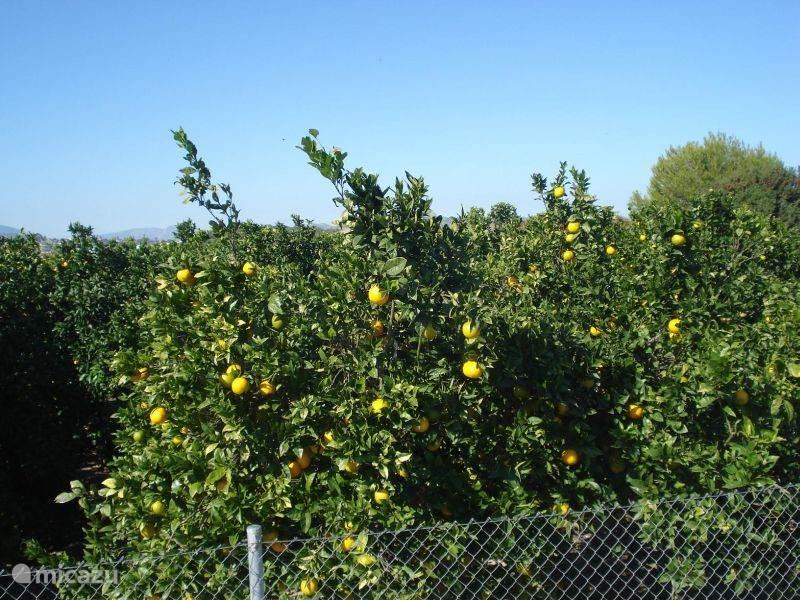 Sinaasappel plantages in de omgeving