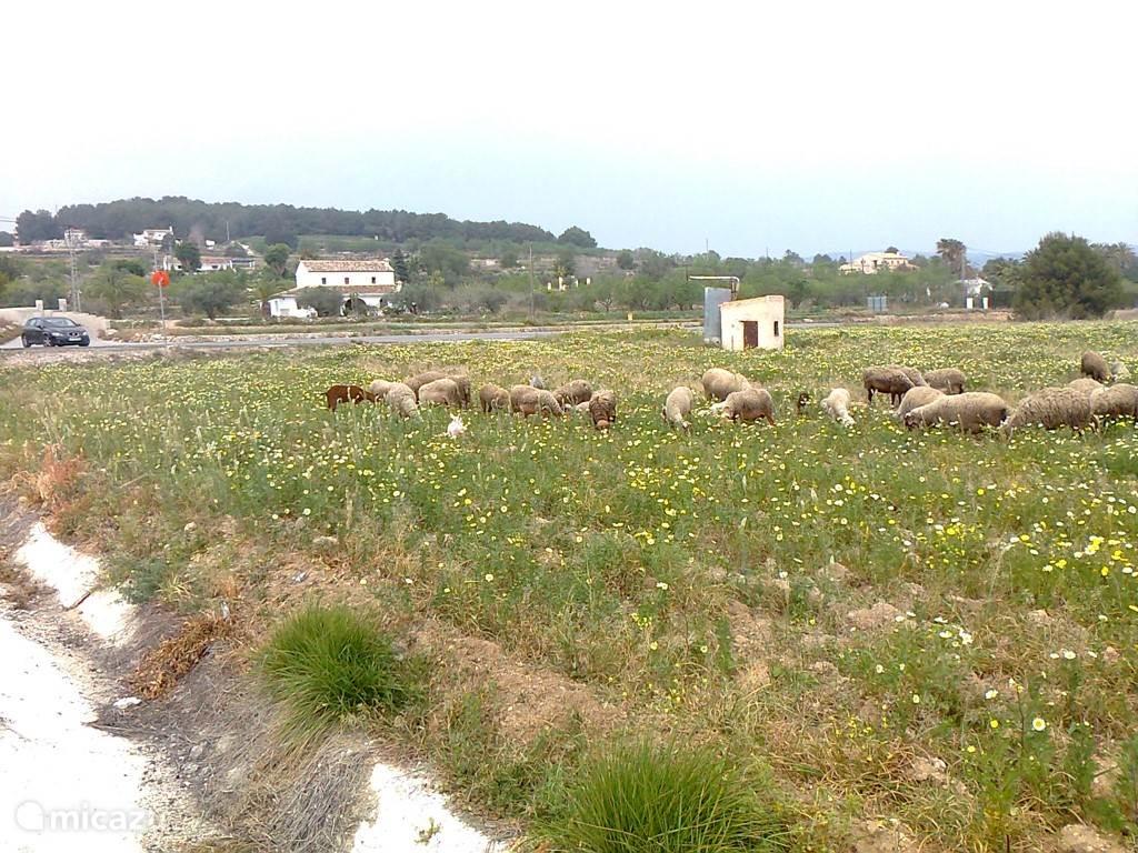 Een herder met schapen loopt rond Moraira en Teulada