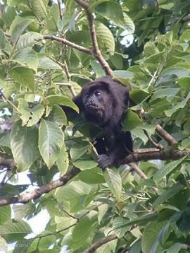 Howler monkeys in the village!