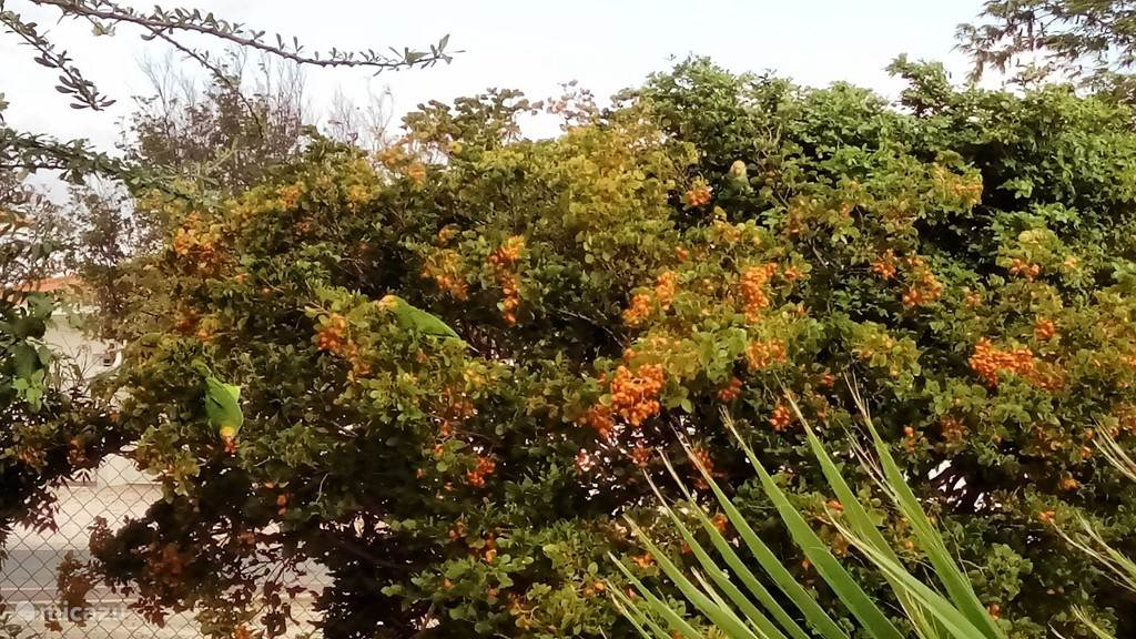 Bonaire Lora regularly eat fruit from local trees in our garden