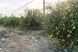 In december hangen de citrus planten vol met citroenen/manderijnen en  sinasappels. In maart/april  bloeien de amandelbomen prachtig langs de weg.