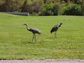 Kraanvogels komen regelmatig op bezoek. Een bijzonder sierlijke vogel die een hoop herrie kan maken.
