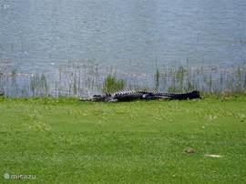 Deze jongens kom je af en toe op de golfbaan tegen. Toch lastig als je golfbal daar ligt. Je krijgt wel een free drop!