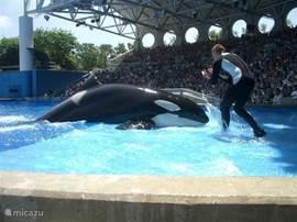 Sea world is een schitterend park met een leuke show waarin orka's de hoofdrol spelen. Shamu is de bekendste orka, bijna legendarisch te noemen.