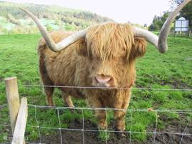 Schotse stier