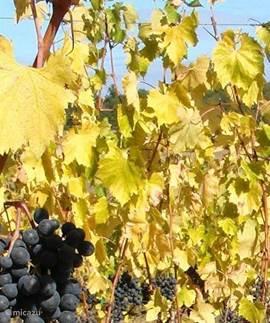 De druiven van Podere Alberese rijp voor de oogst in October.