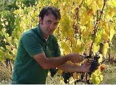De rijpe druiven voor de heerlijke Podere Alberese Riserva wijn worden geoogst.