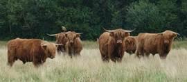 Schotse hooglanders op de Drentse Heide velden