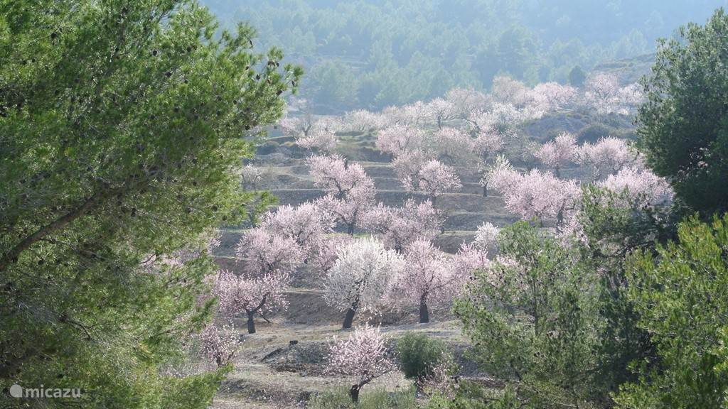 Een mooie rit door de bergen kan beloond worden met uitbundig bloeiende amandelbomen