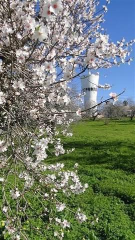 De amandelbomen in bloei bij de watertoren kort bij huis