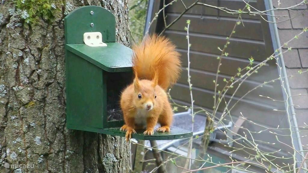 Als u de gordijnen bij de eethoek opent, staat u misschien oog in oog met een RODE EEKHOORN. Voor het raam hangt nl. een speciaal voederkastje waar de eekhoorns dankbaar gebruik van maken! We leggen regelmatig voer voor ze neer, maar u kunt ze ook zelf voeren met hazelnootjes uit het bos!