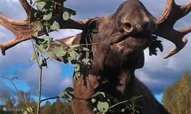 Wie van meer actie houdt, kan een bezoekje brengen aan een nabij gelegen elandenfarm, motorcrossbaan, western manege, skipiste of oude stadjes als Falun of Mora. In het huis zijn talloze informatiebrochures aanwezig.