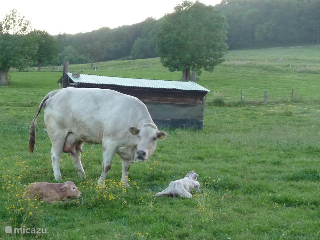 koeien bij onze buren in de weide