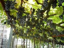 Pergola met druiven. Onze buurman maakt hier wijn van.
