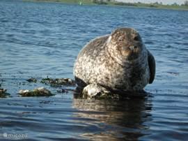 zeehond in de Grevelingen