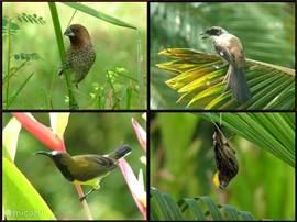 Dierenvrienden zullen in de mooie tropische tuin genieten van vogels.. Deze foto's heb ik gemaakt vanaf ons zitje op de veranda.