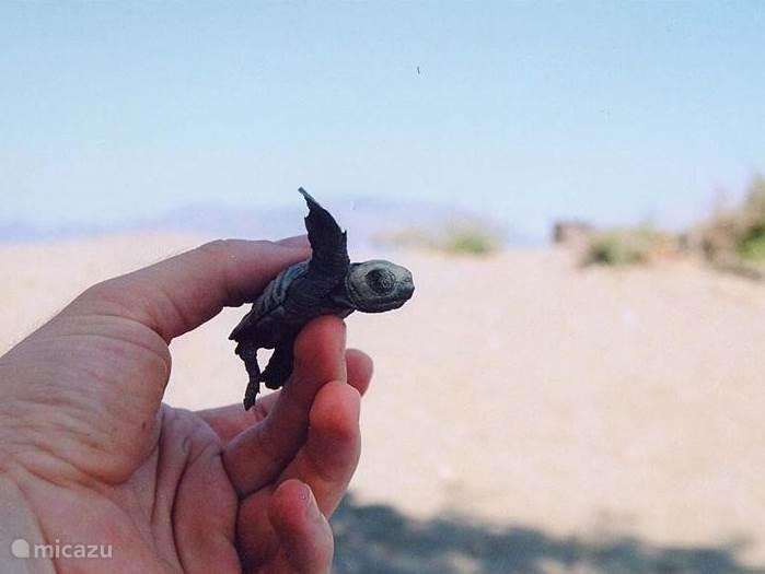 Caretta caretta, het zeeschildpadje is net geboren. Deze schildpad legt haar eieren op het strand en in de maand augustus komen ze uit hun ei.