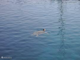 Caretta caretta, de zeeschildpad van Turkije. Deze zwemt in de haven van Fethiye