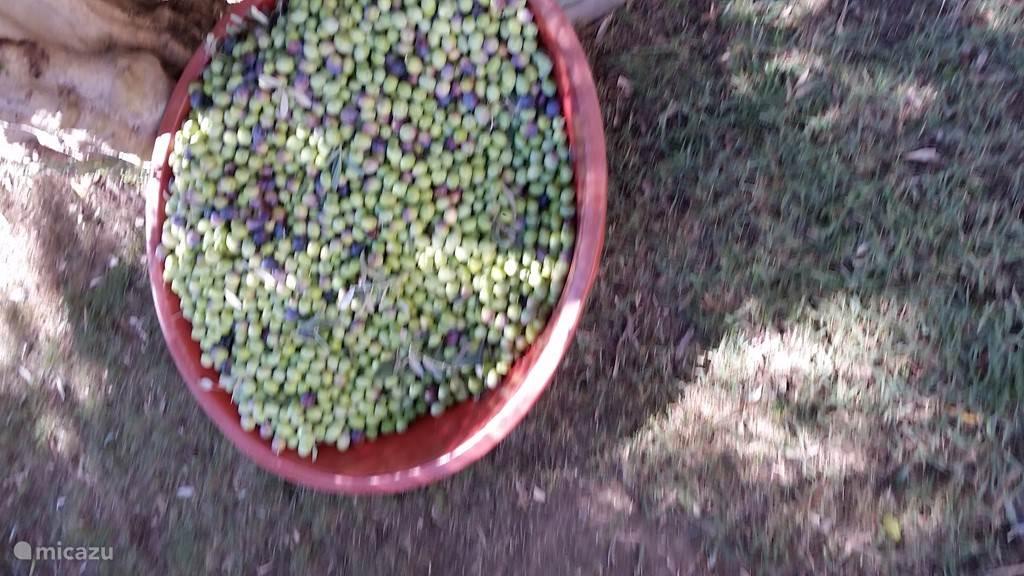 eigen olijven in de tuin