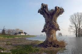 'De Kozakkenboom' met zijn voeten in de ondergelopen uiterwaarden. Hoog water trekt altijd veel kijkers en is dan ook een indrukwekkend verschijnsel.