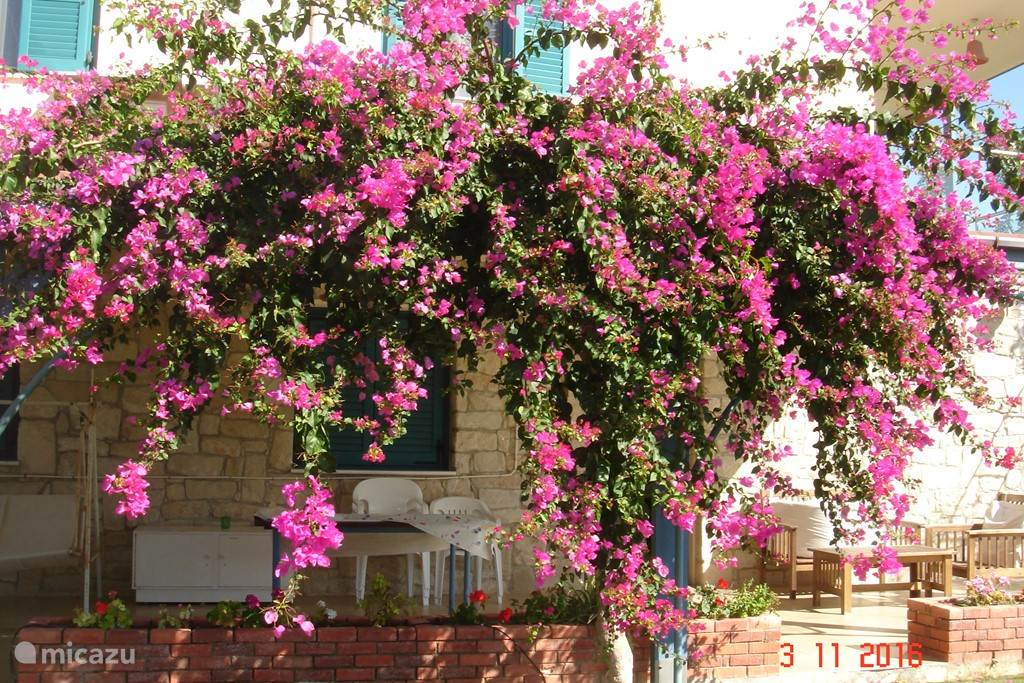 Bougainvillea blooms until late autumn!