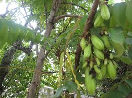 Birambievruchten het hele jaar door. Heerlijk op azijn met rode uien.