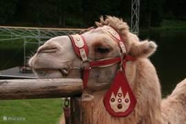 Een echte kameel in Svata Katarina (op 4 km afstand)