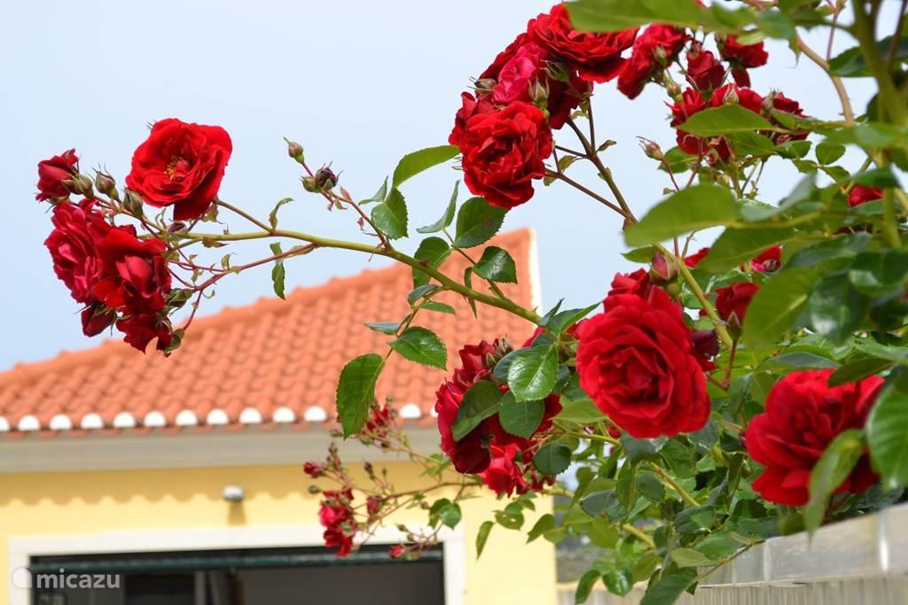 De prachtige rozenhaag staat er schitterend bij.