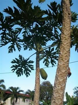 Onze papayaboom.