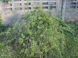 Onze eigen theestruik in de tuin.