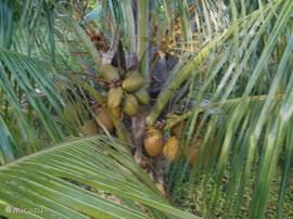 We hebben meerdere kokosnoten bomen. U hoeft alleen maar te plukken en te proeven!