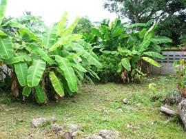 Achter op ons perceel staan onze bananenbomen.