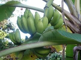 Bananen in onze boom in de tuin. Ze zijn van u als u er bent in het juiste seizoen. Ze zijn heerlijk!