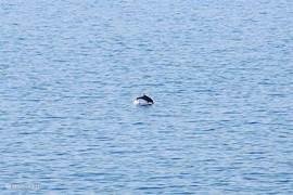 Een dolfijn voor het huis