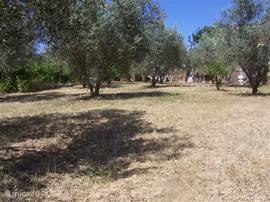 Onze olijvengaarde