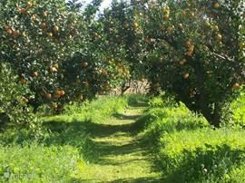 Onze sinaasappelgaarde