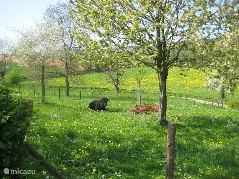 hele mooie hoogstam fruit bomen met de koeien in de weide hier aan de overkant.