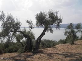 olijfgaard op isola maggiore