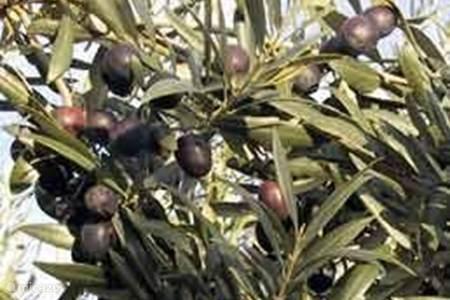 De olijven