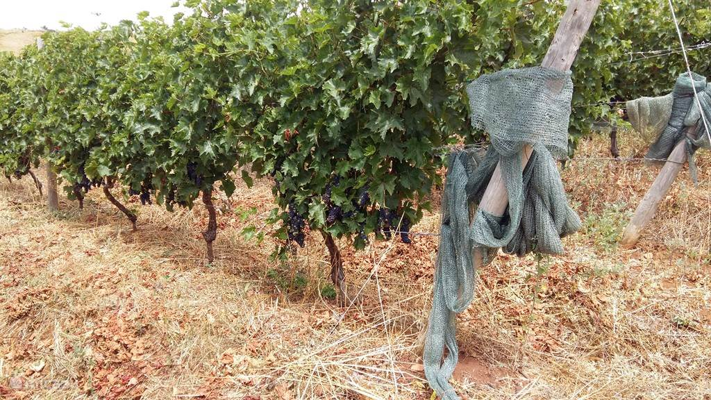 Biologische wijngaard