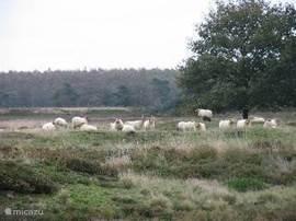 De hei naast het park,waar je zo heerlijk kan wandelen en fietsen en waar de schapen en Schotse Hooglanders grazen.