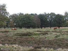 Nogmaals de hei naast het park,waar je zo heerlijk kan wandelen en fietsen en waar de schapen en Schotse Hooglanders grazen.